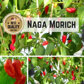 Naga Morich Chilipflanze