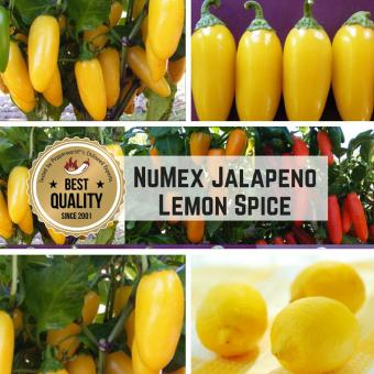 NuMex Jalapeño Lemon Spice Chilipflanze