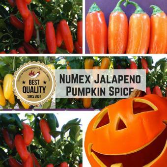NuMex Jalapeño Pumpkin Spice BIO Chilipflanze