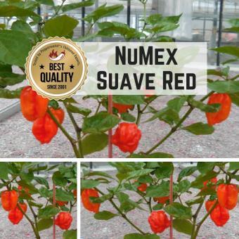 NuMex Suave Red BIO Chilipflanze