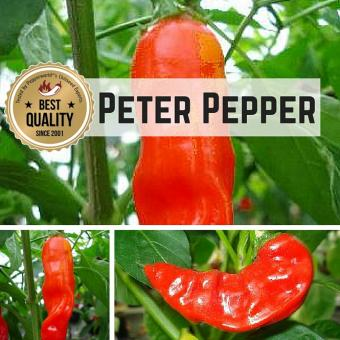 Peter Pepper BIO Chilipflanze
