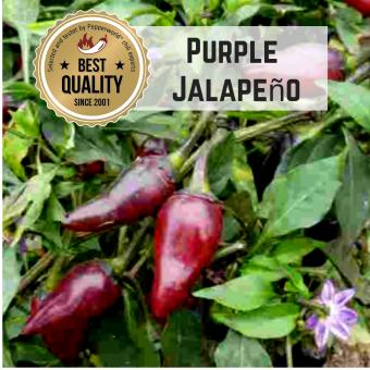 Purple Jalapeño BIO Chilipflanze