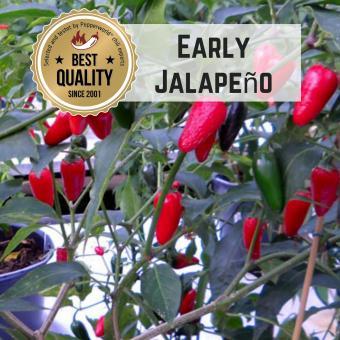 Early Jalapeño BIO Chilipflanze