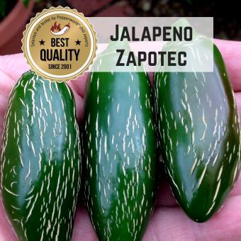 Jalapeno Zapotec BIO Chilipflanze