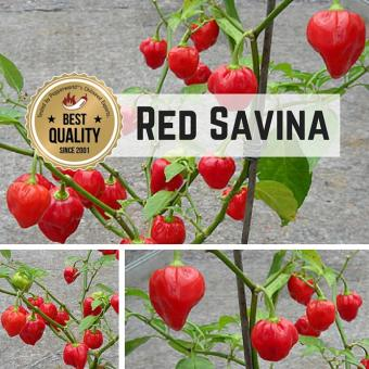 Red Savina® BIO Chilipflanze