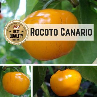 Rocoto Canario BIO Chilipflanze