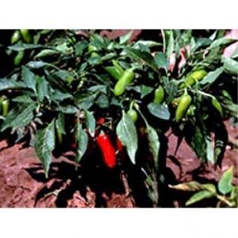 Jalapeno NuMex Primavera Chilisamen