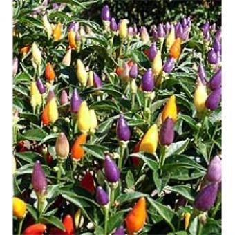 NuMex Twilight Seed (Capsicum annum) um)