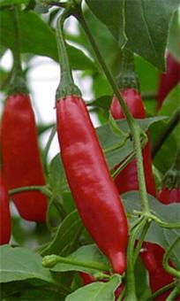 Red Tip Chilisamen