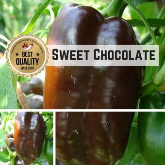 Sweet Chocolate Chilipflanze