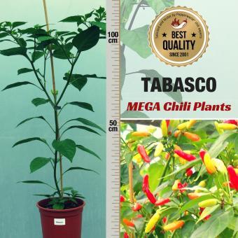 Tabasco Mega Chilipflanze