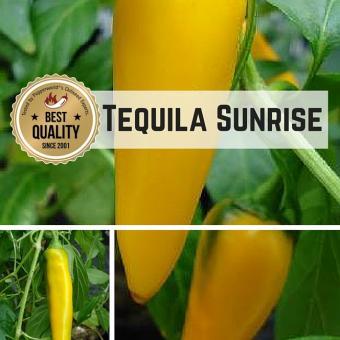 Tequila Sunrise Chilipflanze