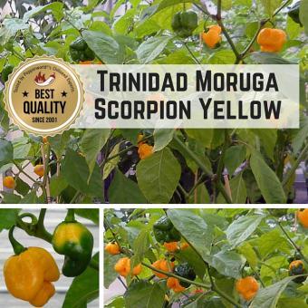 Trinidad Moruga Scorpion Yellow Chilipflanze