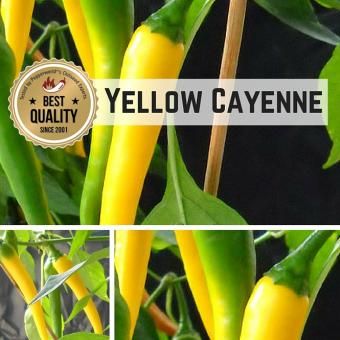 Yellow Cayenne BIO Chilipflanze