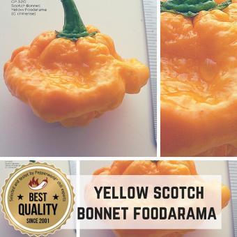 Yellow Scotch Bonnet Foodarama Chilli plants