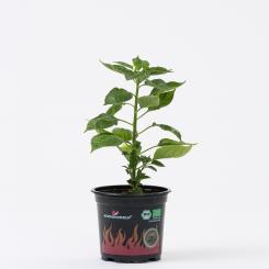 Charapita Rot BIO Chilipflanze