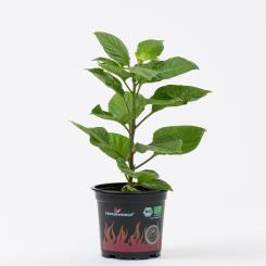 Naga/Bhut Jolokia Orange BIO Chilipflanze