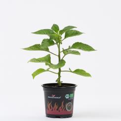 Habanero Red (Mexico) Organic Chilli Plant