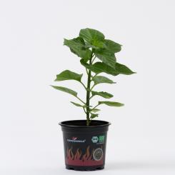 Trinidad Scorpion BIO Chilipflanze