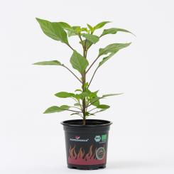 NuMex Centennial Organic Chilli Plant