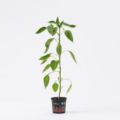 Pimientos de Padron Organic Chilli Plant