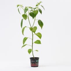 Aji Habanero Organic Chilli Plant