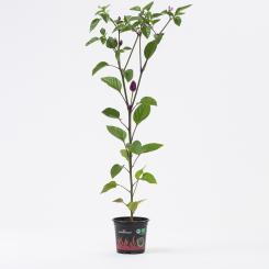 Chinese 5 Color Organic Chilli Plant