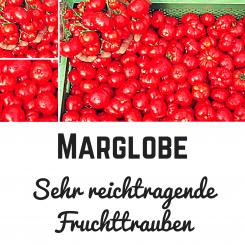 Marglobe Tomatensamen (Salattomate)
