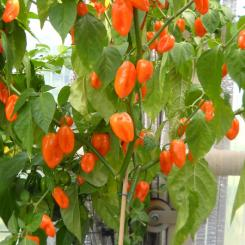 Habanero Pastel Chilli Seeds