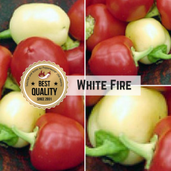 White Fire Chilli Seeds