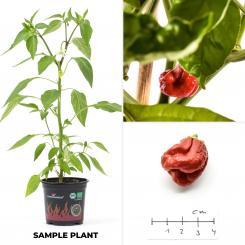 7 Pot Bubblegum Organic Chilli Plant