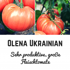 Olena Ukrainian Tomatensamen (Fleischtomate)