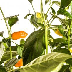 Aji Habanero Chilli Seeds