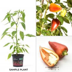 Antohi Romania Organic Chilli Plant