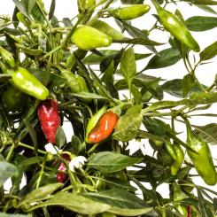 Apache Chilisamen