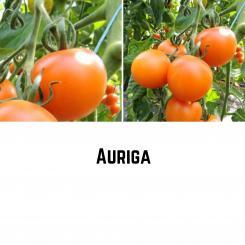 Auriga Tomatensamen (Salattomate)