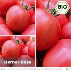 BIO Berner Rose Tomatensamen (Fleischtomate)