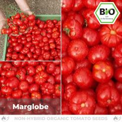 Organic Marglobe tomato seeds (salad tomato)