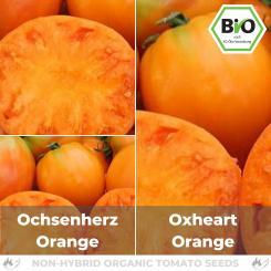 Organic Ox heart orange seeds (meaty  tomato)