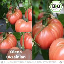 Organic Olena Ukrainian tomato seeds (meaty tomato)