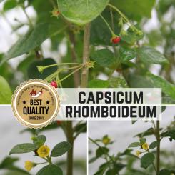 Capsicum Rhomboideum Chilisamen