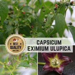 Capsicum Eximium Ulupica LaPaz Chilisamen