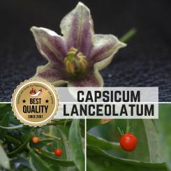 Capsicum Lanceolatum Chilisamen