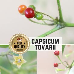 Capsicum Tovarii Chilisamen