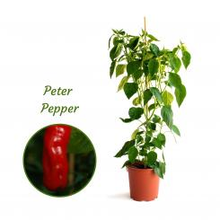 Peter Pepper Mega Organic Chilli Plant