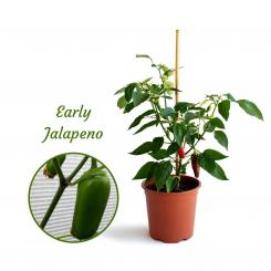 Early Jalapeno Mega Organic Chilli Plant