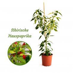 Siberian House Pepper Mega Organic Chilli Plant