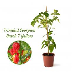 Trinidad Scorpion Butch T Yellow Mega BIO-Chilipflanze