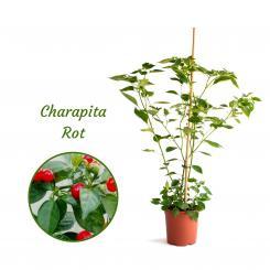 Charapita Red Mega Organic Chilli Plant