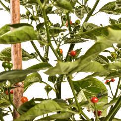 Charapita Rot Chilisamen
